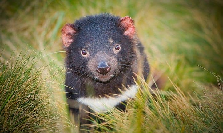 Tasmanian devils rapidly evolving to resist contagious cancer, study finds