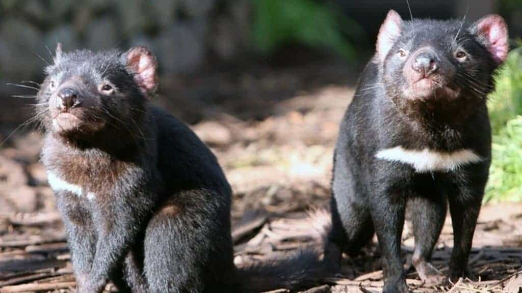 Tasmanian devil milk fights superbugs