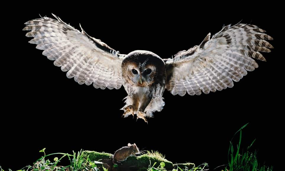 Owls use stealth technology to help capture prey for Food bar owl