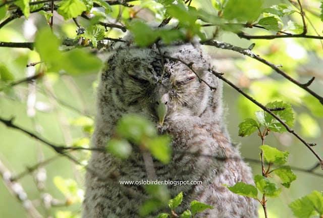 Fledgling Tawny Owls
