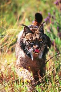 Iberian lynx may not survive in the changing climate
