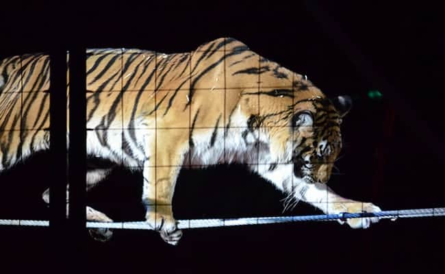 After tragic shooting of escaped tiger, should France ban circus animals?