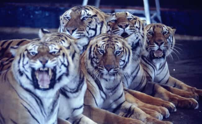 POLL: Should all circuses with wild animals be closed down?
