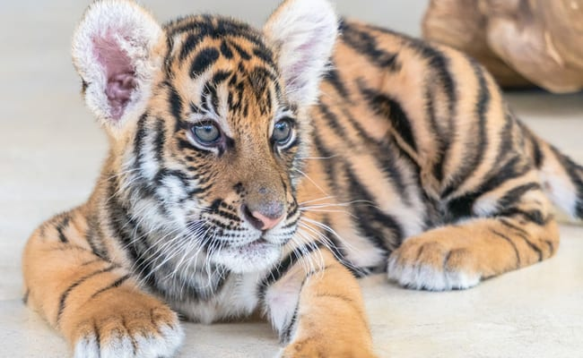 POLL: Should this Florida zoo offering swims with tiger cubs be closed down?