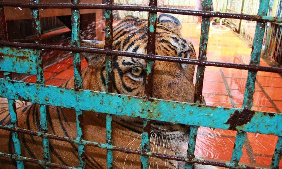 China accused of defying its own ban on breeding tigers to profit from body parts