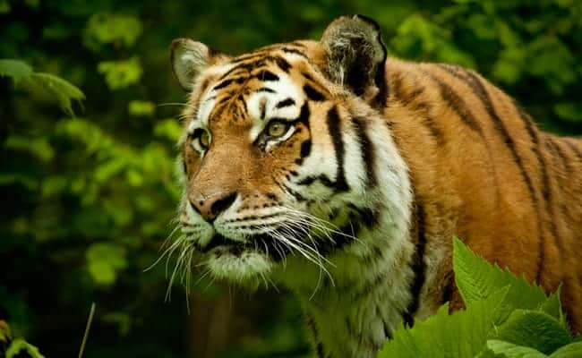Wild Tigers to be Reintroduced to Kazakhstan After 70 Year Absence
