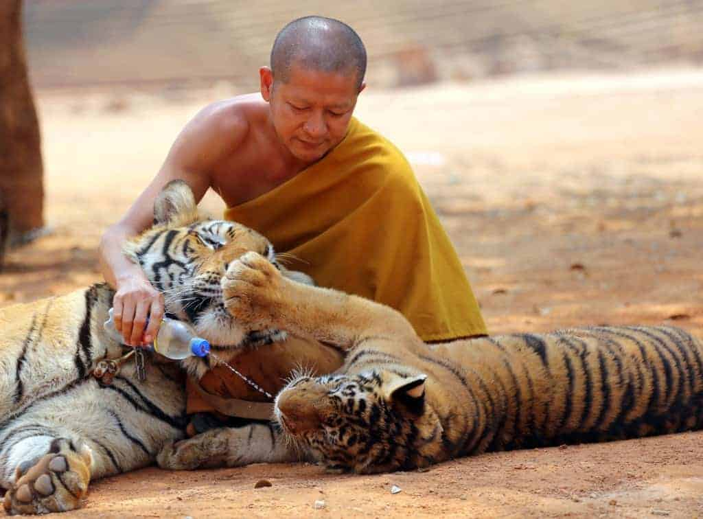 POLL: Should tiger farming and trade in tiger parts be banned?