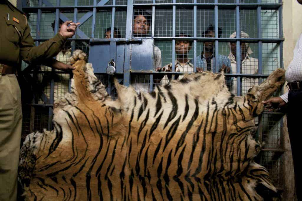 POLL: Should India's export of tiger skin, parts and bones be stopped?