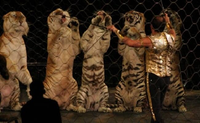 Ringling Bros. Wants to Send 15 Big Cats to a German Circus