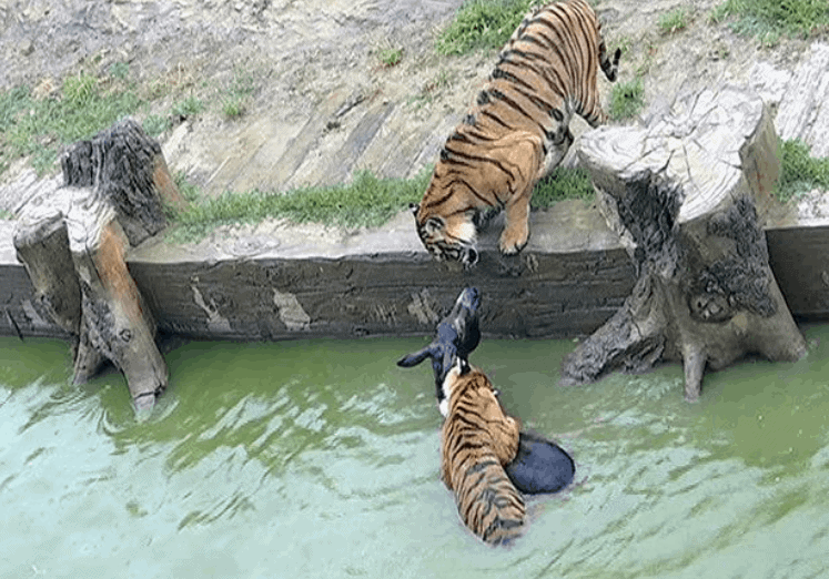 Live donkey fed to tigers in shareholder protest at Chinese zoo