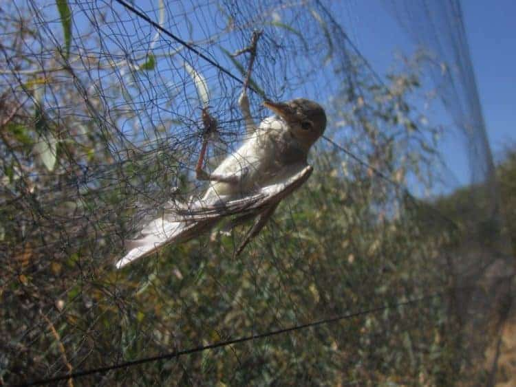 Please help to stop the illegal killing of birds