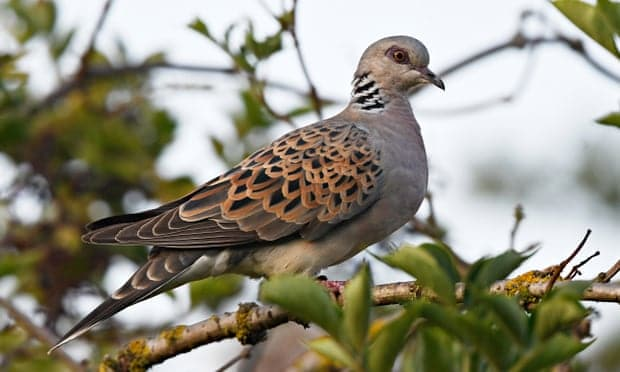 Turtle dove flies towards extinction as numbers halve in UK