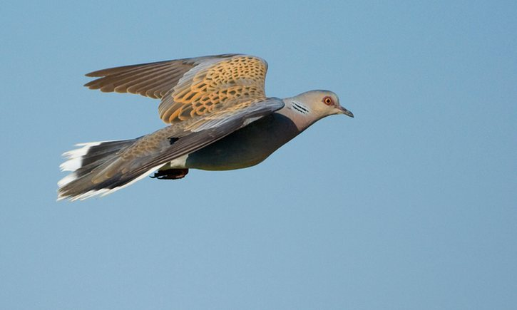 POLL: Should there be a moratorium on turtle dove hunting in Malta?