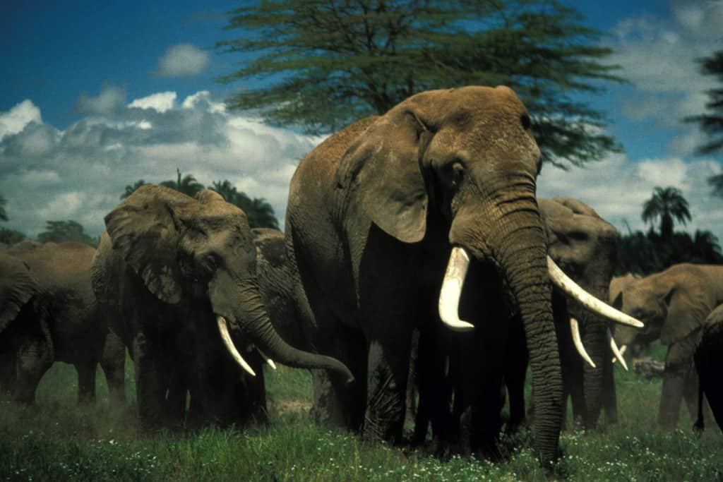 Video: Staring Down Angry Elephants (graphic scenes!)