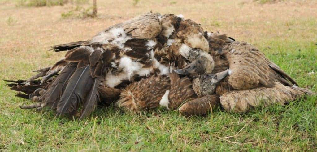 Poisoned to extinction: a bold new approach to saving Africa's vultures