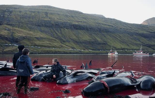 POLL: Should the Faroese be sanctioned for continuing to slaughter whales?
