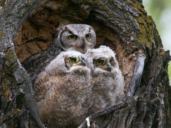 Video: Mother Owl Takes On Snake – and Wins