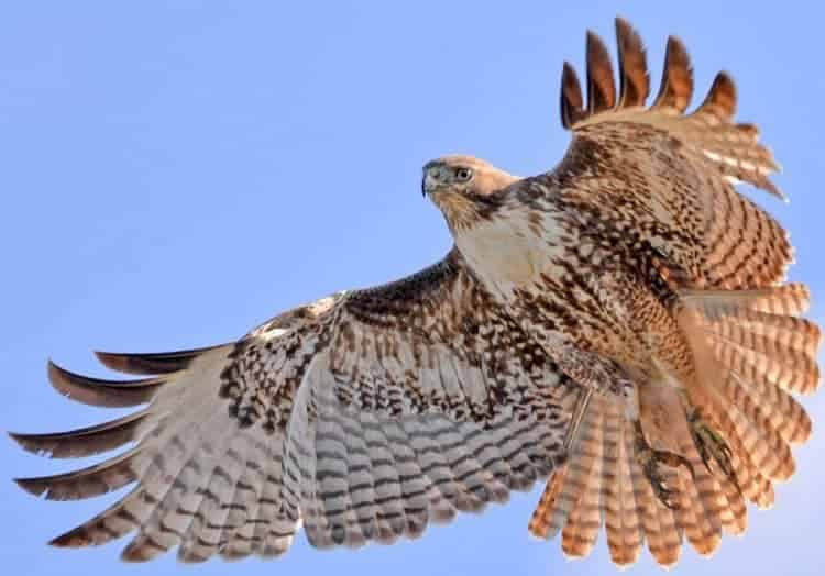 Why This Young Hawk Thinks It's an Eagle