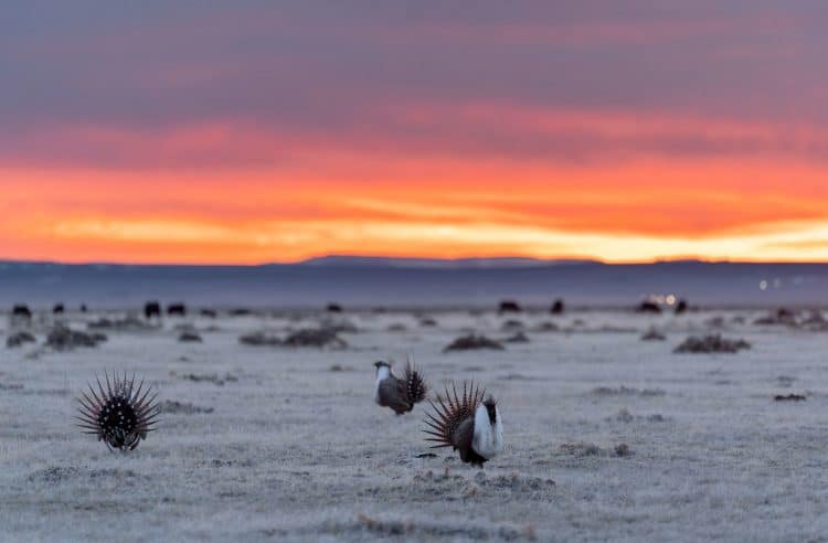 web aud greater sage grouse 05897 photo evan barrientos