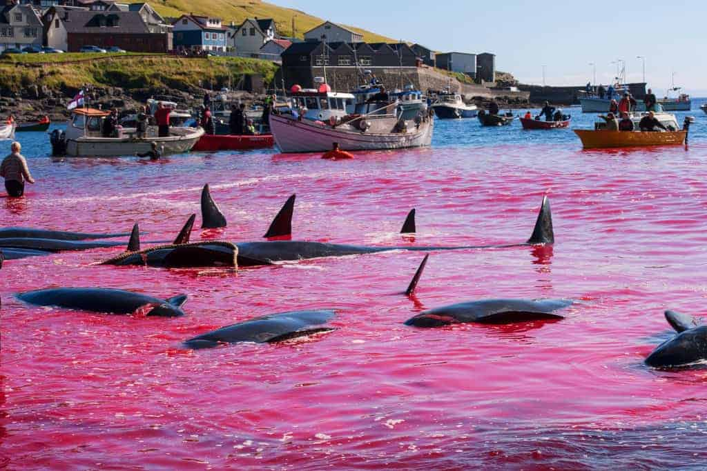 POLL: Should the whale slaughter in the Faroes be banned?