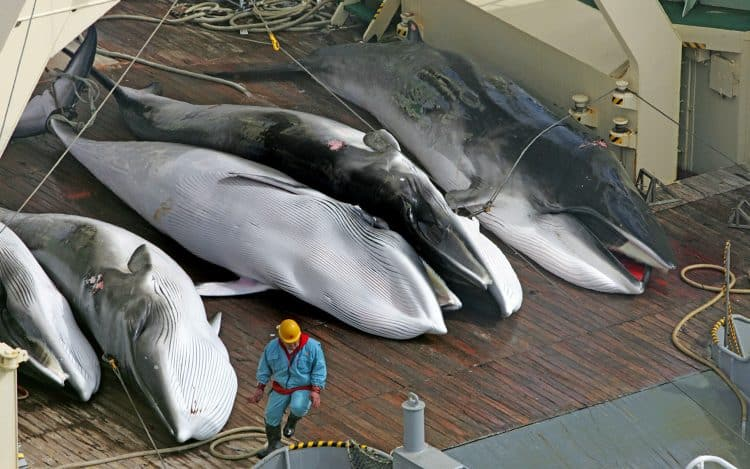 POLL: Should Japan be sanctioned for continuing to slaughter whales?