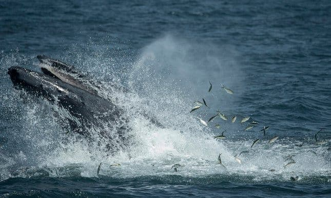 New York's whales to be studied for the first time
