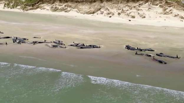 Video – Over 140 whales die after becoming stranded on New Zealand beach