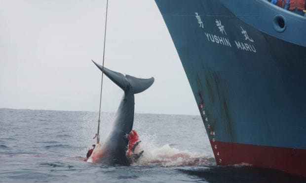 POLL: Should Japan be sanctioned for continuing commercial whaling?
