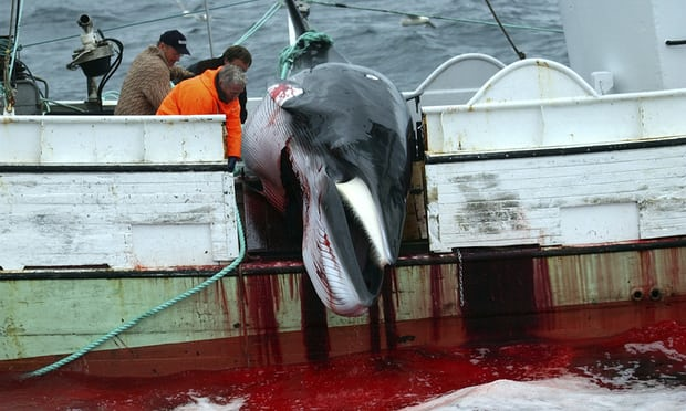 POLL: Should Iceland be sanctioned for resuming whaling?