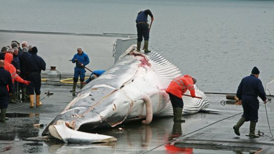 POLL: Should Japan stop whaling?