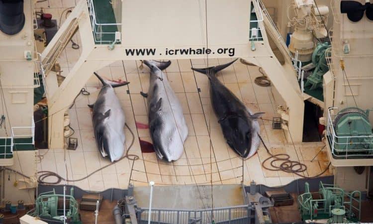How Sea Shepherd lost battle against Japan's whale hunters in Antarctic