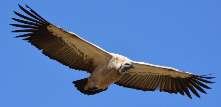 New project tackles illegal trade in vulture body parts