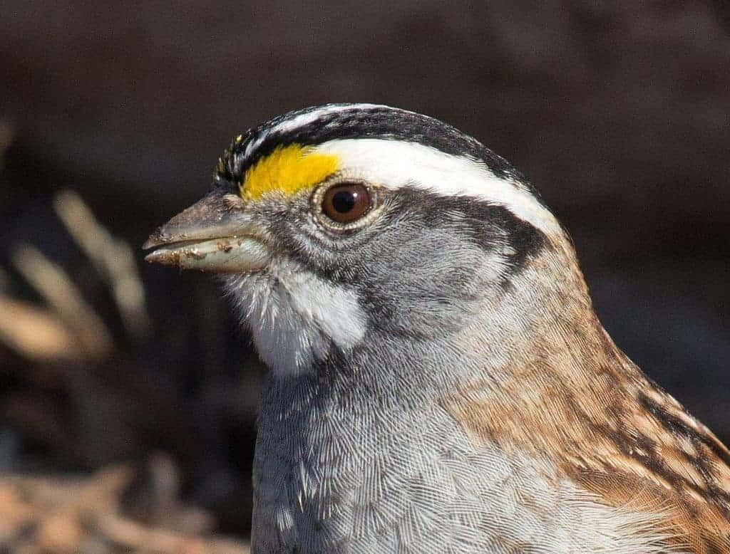 Weird Genetics: White-throated Sparrow