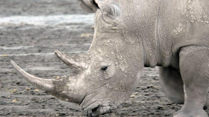 POLL: Could synthetic rhino horns help save the rhino?