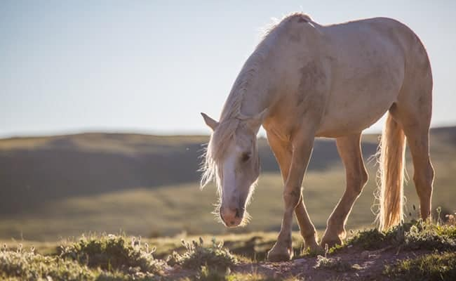 POLL: Should wild horses be protected from roundups and slaughter?