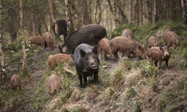 POLL: Should the National Trust be allowed to slaughter wild boar on its estates?