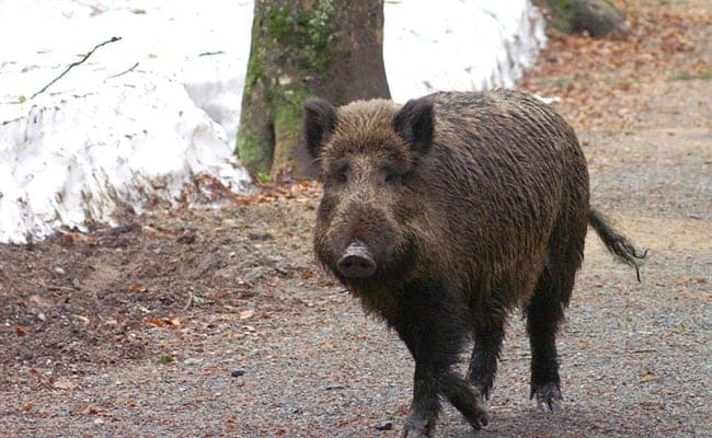 Radioactive Boar Wreak Havoc on Swedish Landscape