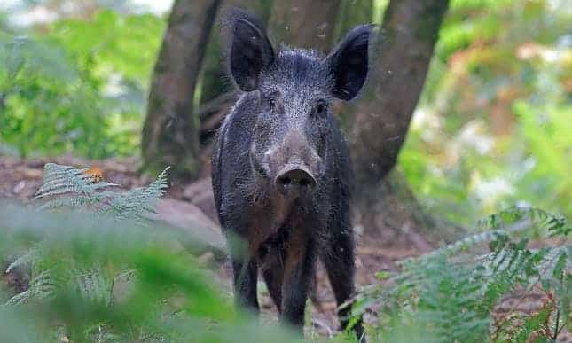 POLL: Should wild boar be culled in order to control the population?