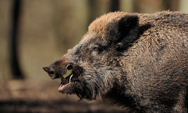Hunter dies in Germany after wild boar he was trying to shoot attacked him