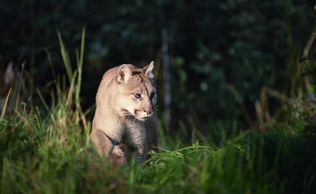POLL: Should Arizona's wild cats be protected from trophy hunters?