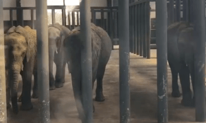 POLL: Should wild elephants be sold to Chinese zoos?