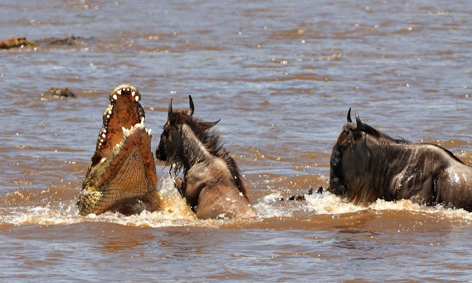 A crocodile attacks wildebeest crossing the Mara river. Photograph: Paolo Torchio/Paolo Torchio
