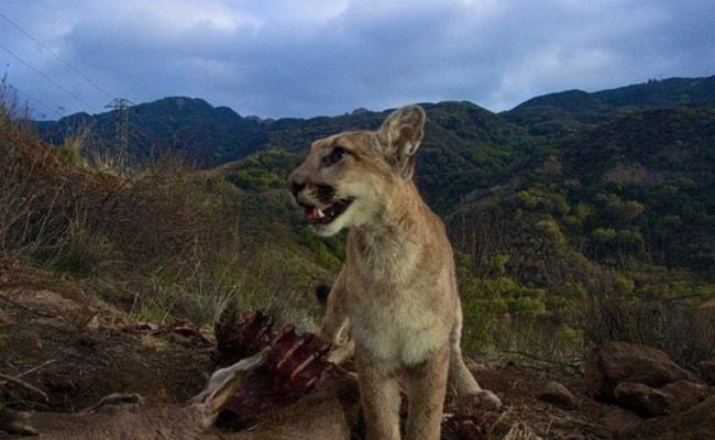 Advocates Raise Millions for Wildlife Bridge in Los Angeles