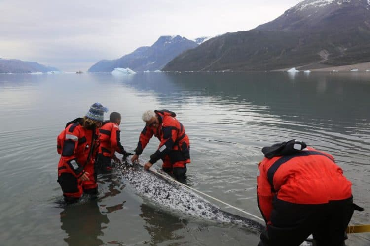 Narwhals Wearing Heart Monitors Reveal Danger of Human Encounters