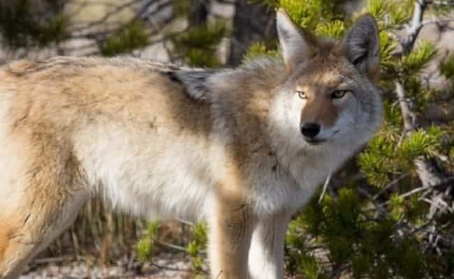 "POLL: Should Trump cut spending by disbanding wildlife ""killing"" services?"