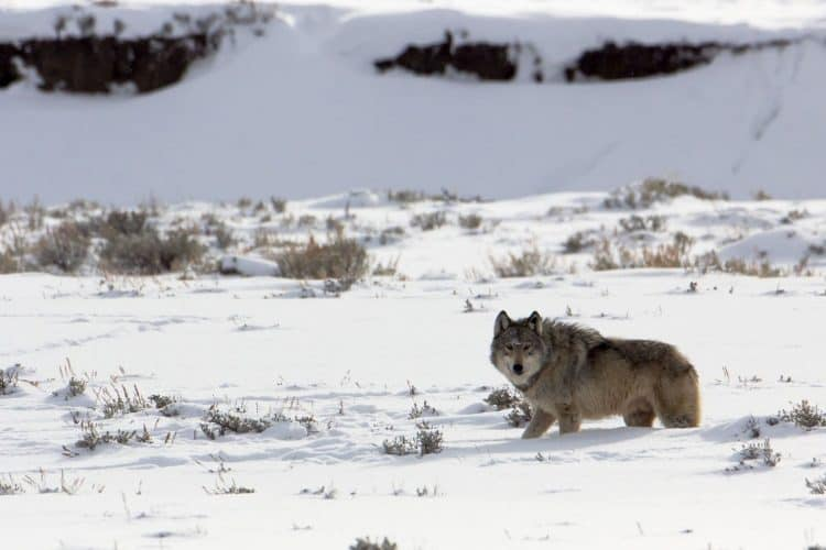 My time with 'male 911': This Yellowstone wolf was safe from people, but not from nature