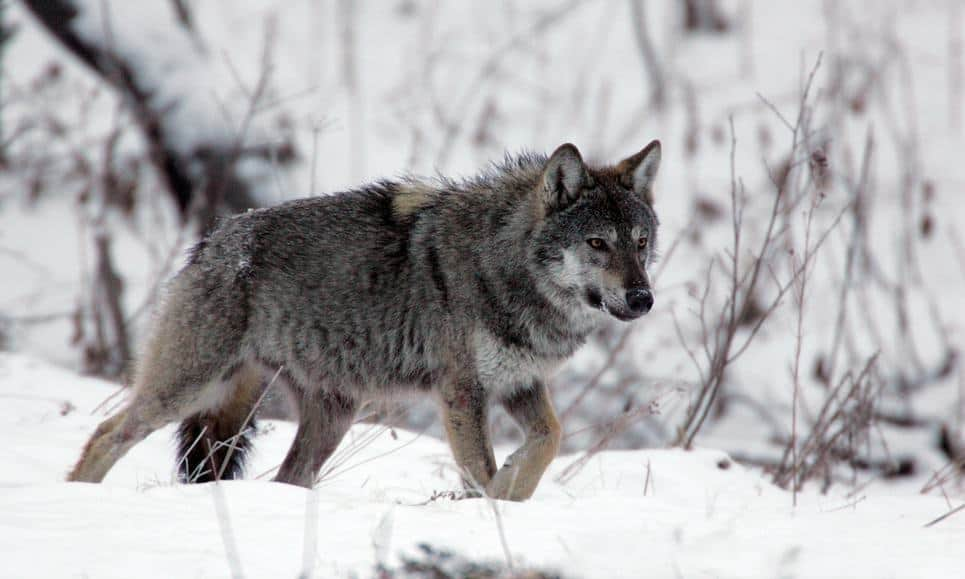 POLL: Should Finland's 235 wolves be culled?