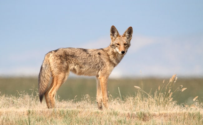 Another County Suspends its Contract with Cruel Wildlife-Killing Program