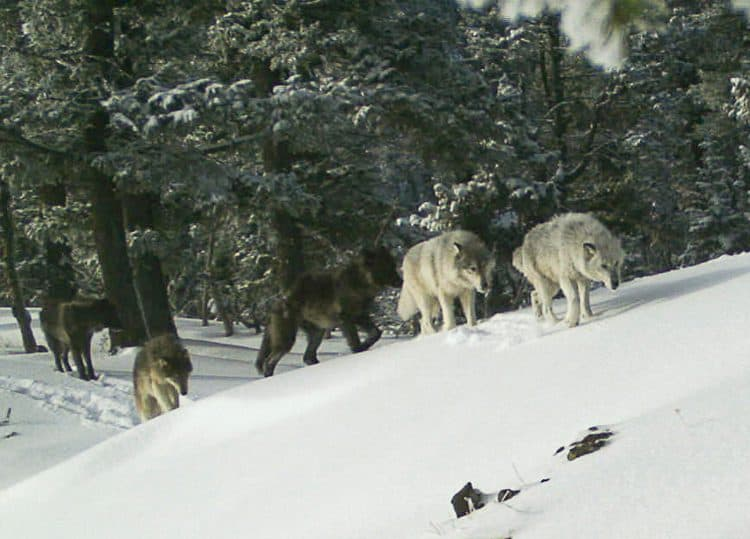 A wolf pack is captured by a remote camera in Hells Canyon National Recreation Area in northeastern Oregon near the Idaho border on Feb. 1, 2017. (Oregon Department of Fish and Wildlife/AP)