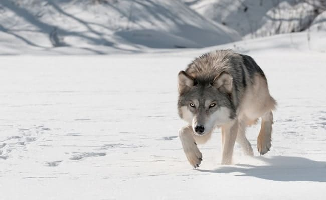 Demand Justice for Endangered Wolf Slain in Oregon